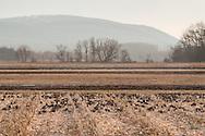 Wawayanda, New York - Canada geese feed in a field of cut corn at sunset on Jan. 16, 2015.