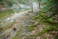 Moss covered tree roots grow on the bed of Big Sur River, Big Sur, California.