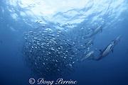 long-beaked common dolphins, Delphinus capensis, feeding on a baitball of sardines, Sardinops sagax, during annual Sardine Run along the Wild Coast, Transkei, South Africa ( Indian Ocean )