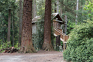 Two large Redwood trees and the treehouse at Redwood Park in Surrey, British Columbia, Canada.  The original treehouse was built by Peter and David Brown in 1878.