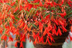 Begonia 'Bonfire' in a hanging basket