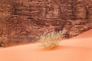 Windswept ripples form around a small shrub growing from red sand in Wadi Rum, Jordan.