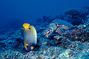 hawksbill sea turtle, Eretmochelys imbricata, feeding on coral rubble with blueface or yellow mask angelfish, Pomacanthus xanthometopon, waiting for scraps, Layang Layang Atoll, Malaysia  ( South China Sea )