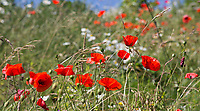 French Ardennes:  klaprozen en korenbloemen. COPYRIGHT KOEN SUYK