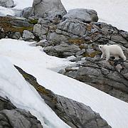 A polar bear makes its way over land near Svalbard, Norway.