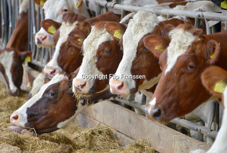 Nederland, Wijchen, 2-4-2016De koeien van de Diervoort mogen deze lente  voor het eerst uit de stal in de wei. Ze testen elkaar voor de plek in de pikorde, rangorde door met de koppen tegen elkaar aan te duwen .FOTO: FLIP FRANSSEN/ HH