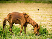 14 JULY 2015 - THAILAND:  A horse grazes in a parched rice field in Pathum Thani province. The drought that has crippled agriculture in central Thailand is now impacting residential areas near Bangkok. The Thai government is reporting that more than 250,000 homes in the provinces surrounding Bangkok have had their domestic water cut because the canals that supply water to local treatment plants were too low to feed the plants. Local government agencies and the Thai army are trucking water to impacted communities and homes. Roads in the area have started collapsing because of subsidence caused by the retreating waters. Central Thailand is contending with drought. By one estimate, about 80 percent of Thailand's agricultural land is in drought like conditions and farmers have been told to stop planting new acreage of rice, the area's principal cash crop.      PHOTO BY JACK KURTZ
