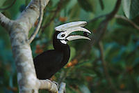 A Palawan Hornbill (Anthracoceros marchei) perched on a limb with a fig in its bill.