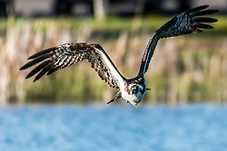 Oncoming osprey looking rather depressed dripping water after missing a fish.