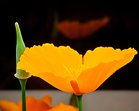 Indoor Hydroponic California Poppy Flower. Image taken with a Fuji X-T3 camera and 80 mm f/2.8 macro lens (ISO 800, 80 mm, f/22, 1/60 sec).