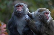 The Formosan rock macaque, Macaca cyclopis, or Taiwan macaque, Alishan National Recreational Forest, Taiwan