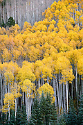 Golden quaking aspen mix with blue spruce on a hillside in the San Juan National Forest, near Dolores, Colorado.