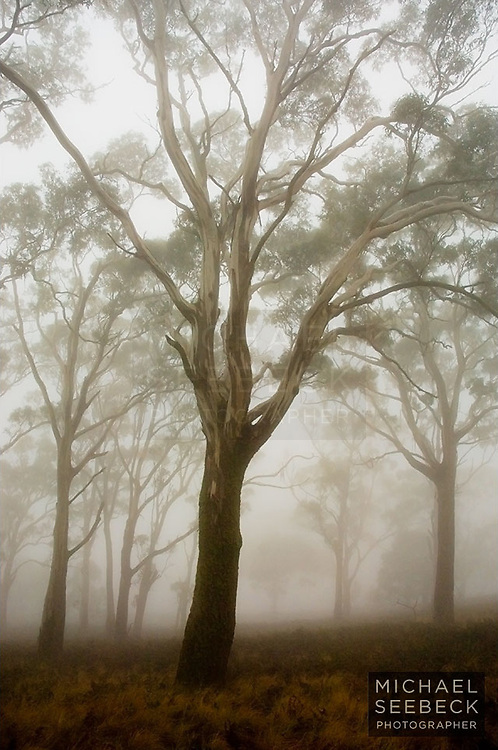 A photograph of eucalyptus trees in early morning mist on the slopes of Mt Buninyong, Victoria