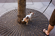 While on a leash, a pet dog wees against the base of a city tree in central London.