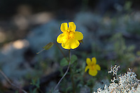 Primarily a western spring bloomer, the seep-spring monkeyflower, like other monkeyflowers, is often found very close to water or actually growing in standing water. It can be found in most western states and provinces and can be found sporadically in such eastern states like Michigan, Pennsylvania, New York and even Maine! These were found growing on the damp Pacific Northwest cliffs on Fidalgo Island in Washington State.
