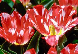 Gebroken tulp, broken colors, broken tulip, Holland, Netherlands