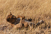 A lion cub (Panthera leo) rolling in the grass and playing with its paws, Okavango Delta, Moremi,  Botswana
