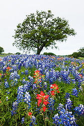 Bluebonnets and wildflowers along road near Llano, Texas in the Texas Hill Country, USA