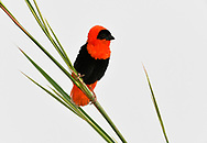 Northern Red Bishop - Euplectes franciscanus