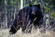 Black Bear along the Alaska Highway in northern British Columbia, Canada.