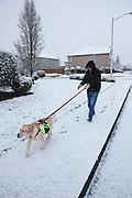 USA, Oregon, Keizer, Labrador Retriever getting her morning walk in the snow. MR, PR