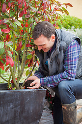 Top dressing a large container grown shrub. Photinia × fraseri 'Red Robin'