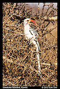 Red-Billed Hornbill<br /> Samburu Game Reserve, Kenya<br /> September 2012