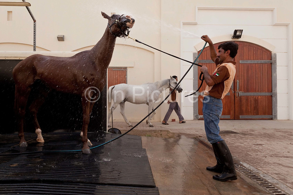 A horse is washed down in the stables of the Dubai Polo and Equestrian club, UAE.