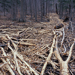 Livermore, NH.Slash is scattered on a skidder road to to reduce impact on the underlying soil in this timber harvest in the White Mountain National Forest.