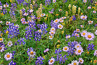 Mt. Baker Wilderness Area; Wildflowers, Lupine, Alpine Daisey, Arnica, Paintbrush, Pacific NW; Ptarmigan Ridge; Washington State; Meadow