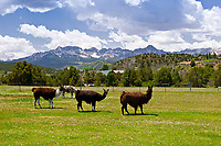 Llamas in pasture (Sneffels Range in the background), Ridgway, Colorado USA