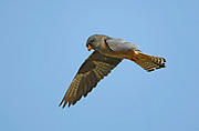 Red footed falcon (falco vespertinus) in flight with a blue sky background. This bird of prey is found in eastern Europe and Asia, but has become a near-threatened species (as of 2008) due to habitat loss and hunting. It preys mainly on large insects but also feeds on small mammals, amphibians, reptiles and birds. Photographed in Israel in October