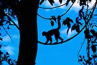 White throated capuchin monkey, Manuel Antonio National Park, Costa Rica