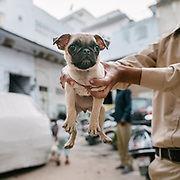 A pug dog living in the street.
