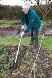 Man hoeing between onions on an allotment.