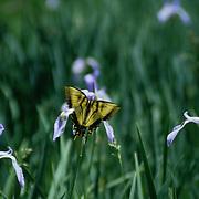 Yellow Butterfly drinking from a purple iris wildflower in a meadow in the Sierra Nevada mountains