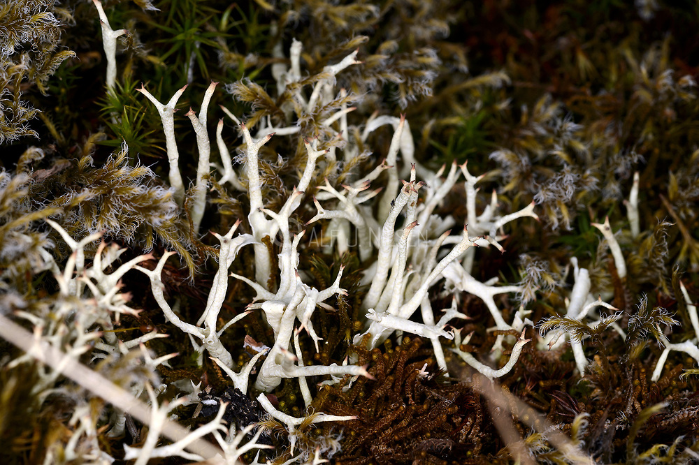 Thorn Cladonia (Cladonia unicialis) from western Norway.