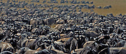 Herd of Common Wildebeests (Connochaetes taurinus) in the Great Migration in Maasai Mara, Kenya in late July 2007.