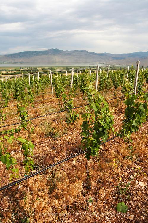 Vines. Vineyard. Traminer. Amyntaion wine cooperative, Amyndeon, Macedonia, Greece