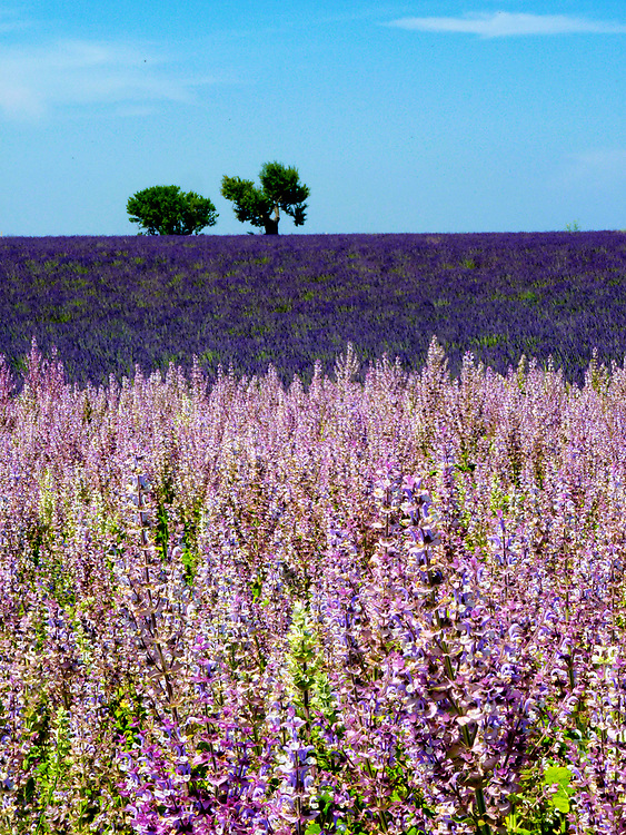 The lavender fields of Provence are a sight to behold in late June through early July.