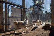 Social interaction with wolves in the adjoining enclosure is a form of enrichment. Though these wolves can never be released into the wild, they are constantly moved to different large enclosures, and paired with other wolves of suitable personalities. Lockwood Animal Rescue Center, California.