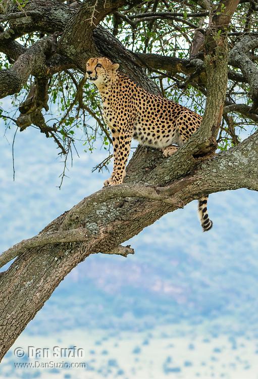 A Cheetah, Acinonyx jubatus jubatus, sits in a tree in Maasai Mara National Reserve, Kenya