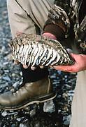 Alaska, Mammoth tooth found on the Kelly River bank Brooks Range.