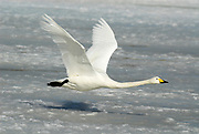 Whooper swan, Cygnus cygnus, adult in flight, flying, Odaito, Hokkaido Island, Japan, japanese, Asian, wilderness, wild, untamed, ornithology, snow, graceful, majestic, aquatic