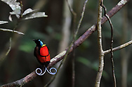 """Wilson's bird-of-paradise (Cicinnurus respublica), Waigeo, Raja Ampat, Western Papua, Indonesian controlled New Guinea, on then Science et Images """"Expedition Papua, in the footsteps of Wallace"""", by Iris Foundation"""
