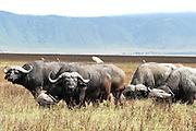 Africa, Tanzania, Ngorongoro National Park. African Buffalo AKA Cape Buffalo (Syncerus caffer)