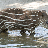 Two month old baby Lowland tapir (Tapirus terrestris) called Hada is seen in Budapest Zoo in Budapest, Hungary on April 23, 2020. ATTILA VOLGYI