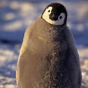Emperor Penguin, (Aptenodytes forsteri) Chick. Atka Bay. Antarctica.