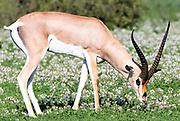 A Grant's gazelle (Nanger granti, Gazella granti) grazes in a patch of flowering plants. Sinya Wildlife Management Area, Tanzania.