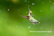 01162-15406 Ruby-throated Hummingbird (Archilochus colubris) bathing in sprinkler Marion Co. IL